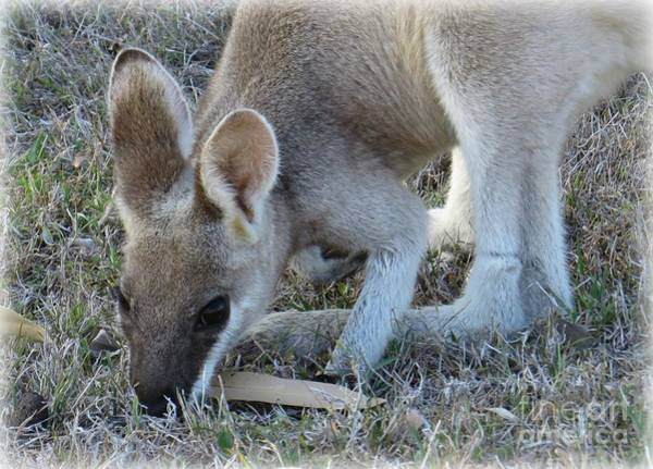 Evie Photograph - Whiptail Wallaby by Evie Hanlon