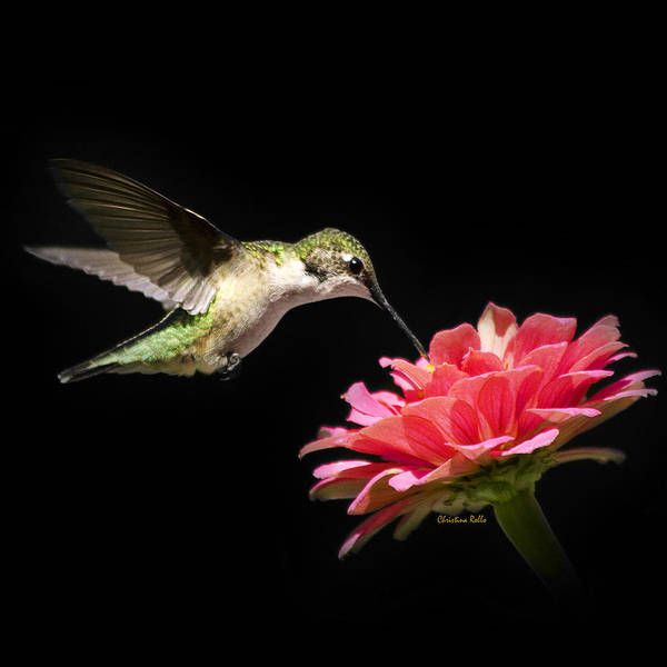 Wall Art - Photograph - Whispering Hummingbird Square by Christina Rollo