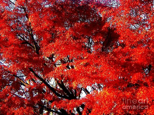 Whispers Of A Japanese Maple Art Print by Juliette Carter-MarShall