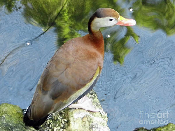 Photograph - Whistling Duck by D Hackett