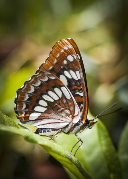 Photograph - White Admiral Butterfly by Robert Potts