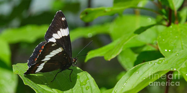 Photograph - White Admiral by Charles Kozierok
