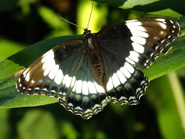 Wall Art - Photograph - White Admiral by Cindy Treger
