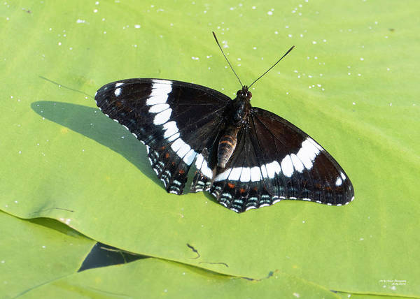 Photograph - White Admiral by Sally Sperry