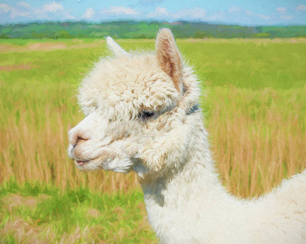 Vicugna Pacos Digital Art - White Alpaca  by Roy Pedersen