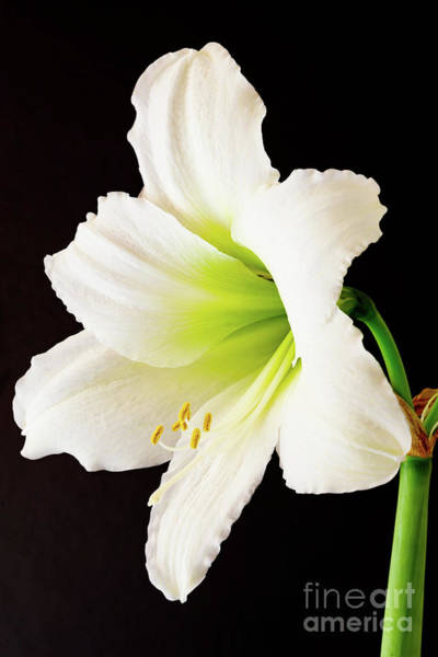 Photograph - White Amaryllis by Colin Rayner
