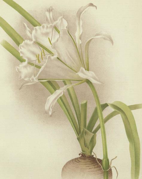 Amaryllis Painting - White Amaryllis   Ismene Andreana by English School
