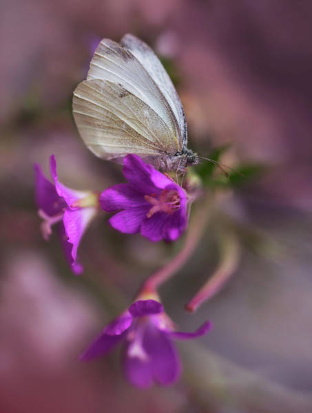 Photograph - White And Green Butterfly On Pink Bell  Flowers by Jaroslaw Blaminsky
