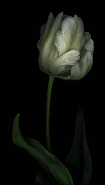 Wall Art - Photograph - White And Green Tulip by Oscar Gutierrez