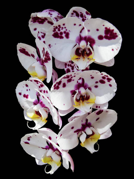 Photograph - White And Magenta Orchids by Bob Slitzan