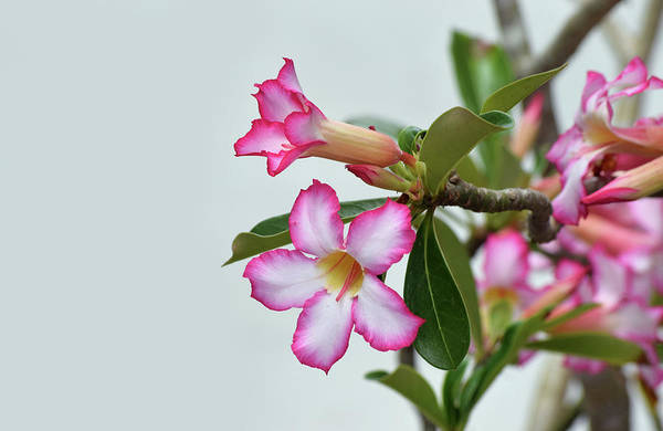 Photograph - White And Pink Flowers by Larah McElroy