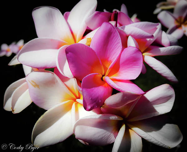 Wall Art - Photograph - White And Pink Plumeria by Corky Byer