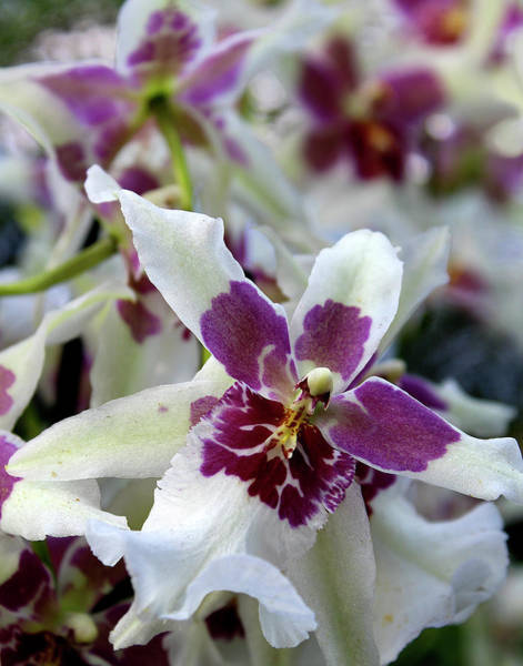 Photograph - Purple And White Orchid by Melinda Blackman