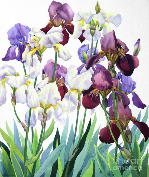 Wall Art - Painting - White And Purple Irises by Christopher Ryland