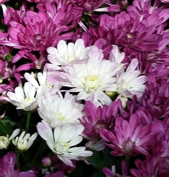 Photograph - White And Purple Mums by Karen J Shine
