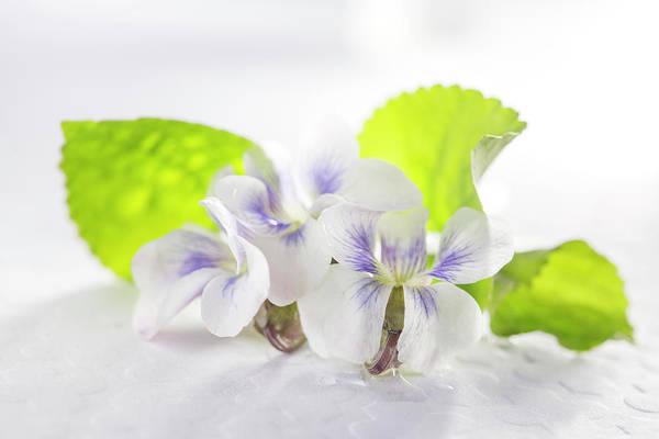 Wall Art - Photograph - White And Purple Viola by Iris Richardson