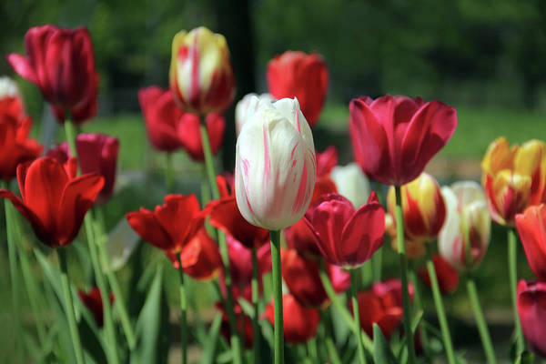 Photograph - White And Red Tulips by Angela Murdock