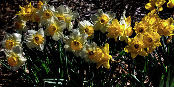 Photograph - White And Yellow Daffodils by David Patterson