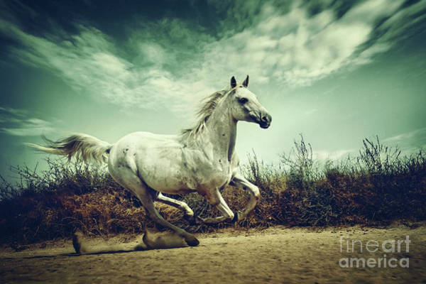 Photograph - White Andalusian Horse Runs Gallop In Summer Time by Dimitar Hristov