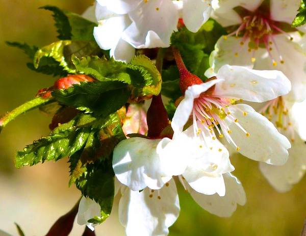 Photograph - White Apple Blossom by Polly Castor