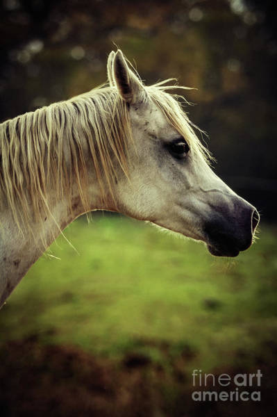 Photograph - White Arabian Horse Head by Dimitar Hristov