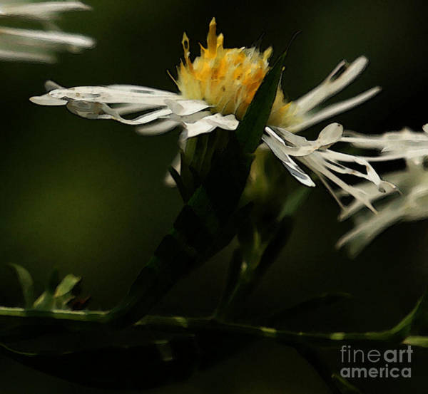 Photograph - White Aster by Linda Shafer