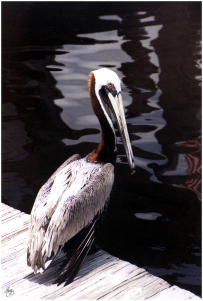 Photograph - White Backed Pelican   by Wayne King