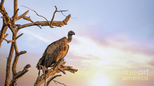 Wall Art - Photograph - White-backed Vulture At Sunset In Kruger National Park by Jane Rix