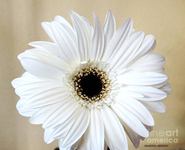 Wall Art - Photograph - White Beauty Gerber Daisy by Marsha Heiken