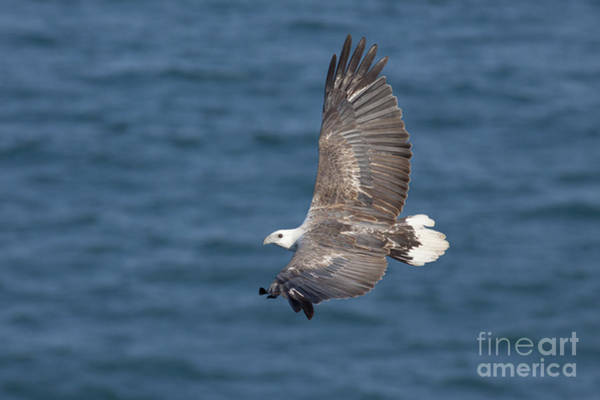 Photograph - White-bellied Sea Eagle by Karen Van Der Zijden