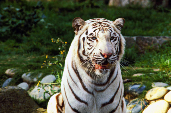 Bengals Photograph - White Bengal Tiger  by Garry Gay