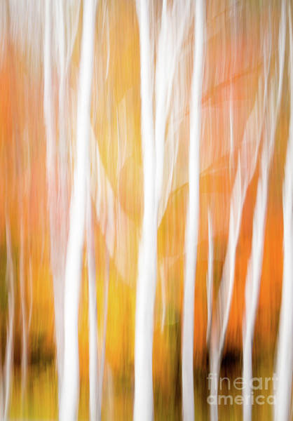 Photograph - White Birch Abstract, Grafton Notch S.p., North Oxford Me #40167 by John Bald