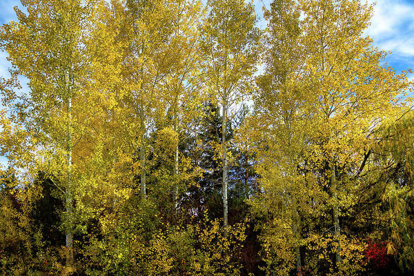 Photograph - White Birch In Autumn by David Patterson
