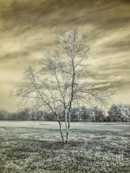Photograph - White Birch In Cantiague Park by Jeff Breiman