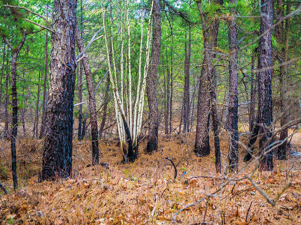 Photograph - White Birches In The Forest by Louis Dallara