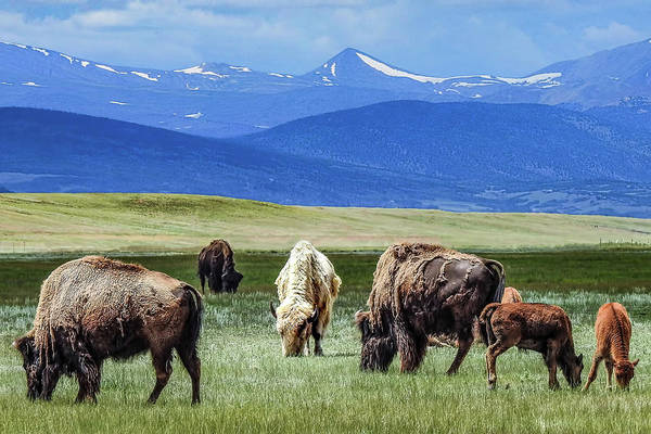 Wall Art - Photograph - White Bison In Colorado Herd. by Dawn Key