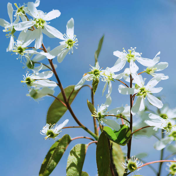 Photograph - White Blossom by Cristina Stefan