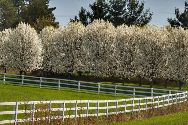 Photograph - 9004 - White Blossom Trees Along White Fenceline by Sheryl Sutter