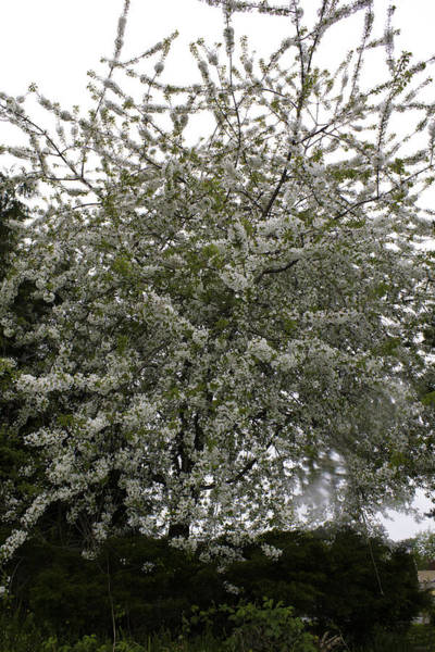 Photograph - White Blossomed Tree by Donna L Munro