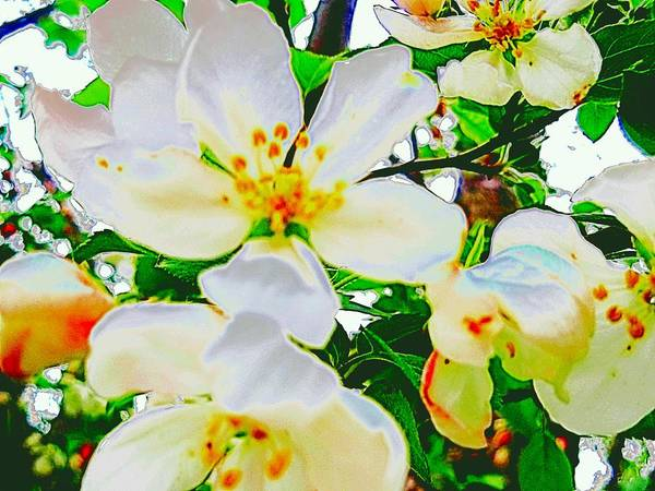 Photograph - White Blossoms  by Beth Akerman