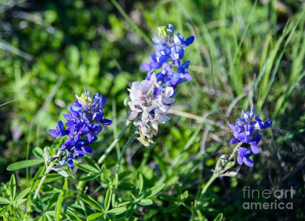 Photograph - White Bluebonnet by Julia Rigler