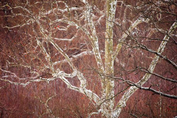 Photograph - White Branches by Jeff Phillippi