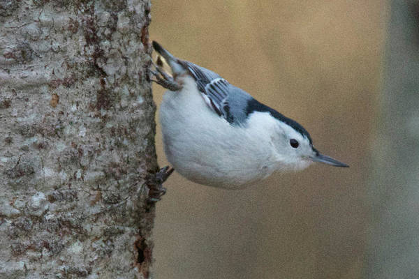 White-breasted Nuthatch Photograph - White-breasted Nuthatc On Alert by Michael Peychich