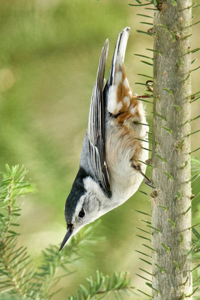 Sitta Carolinensis Photograph - White-breasted Nuthatch 018 by Michael Peychich