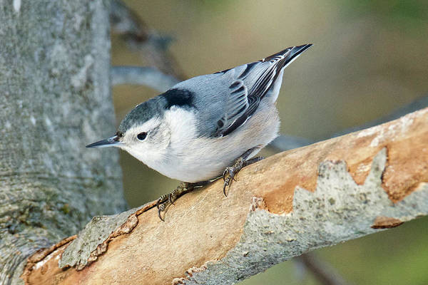 Sitta Carolinensis Photograph - White-breasted Nuthatch 019 by Michael Peychich