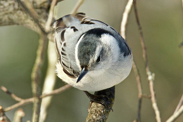 Sitta Carolinensis Photograph - White-breasted Nuthatch 020 by Michael Peychich