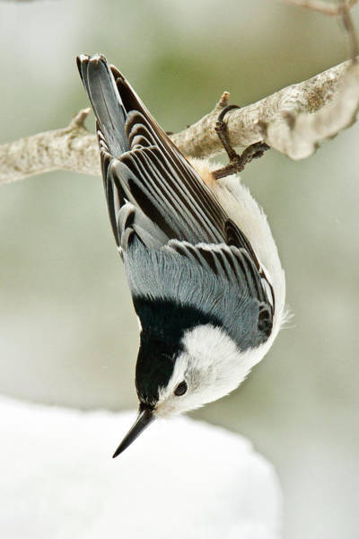 Sitta Carolinensis Photograph - White Breasted Nuthatch 1910 by Michael Peychich