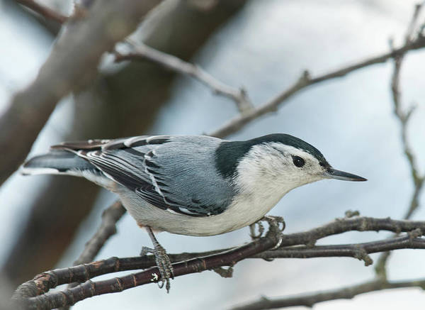 Sitta Carolinensis Photograph - White Breasted Nuthatch 2017 2 by Lara Ellis