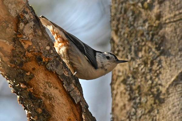 White-breasted Nuthatch Photograph - White Breasted Nuthatch 370 by Michael Peychich