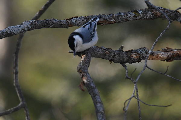 White-breasted Nuthatch Photograph - White Breasted Nuthatch 423 by Michael Peychich